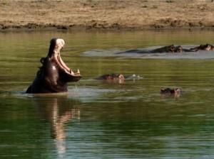 Südafrika Rundreise: Nilpferde im Wasser bei St. Lucia