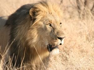 Löwen im Entabeni Game Reserve