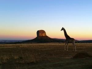 3 Wochen Südafrika: Safari vor Stein in der Morgendämmerung