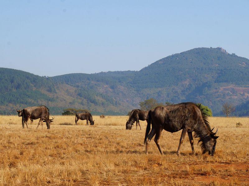 Gnu's in Swaziland