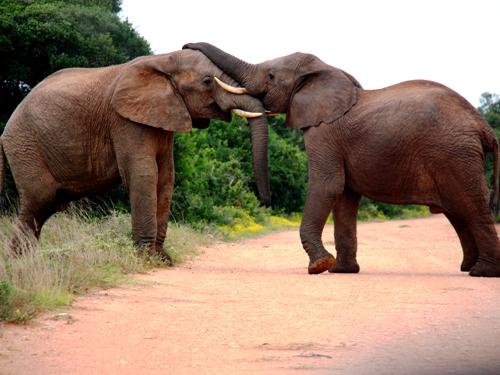 Zwei Elefanten im Addo, die sich mit Ihren Rüsseln berühren