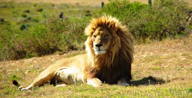 Ein Löwe in Südafrika