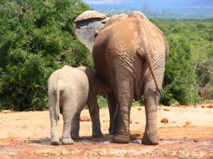 Südafrika Rundreise Garden Route Elefantenkuh mit Kalb