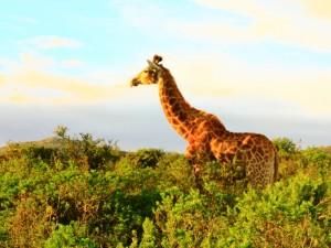 Südafrika Rundreise mit Kindern: Giraffe auf Safari.