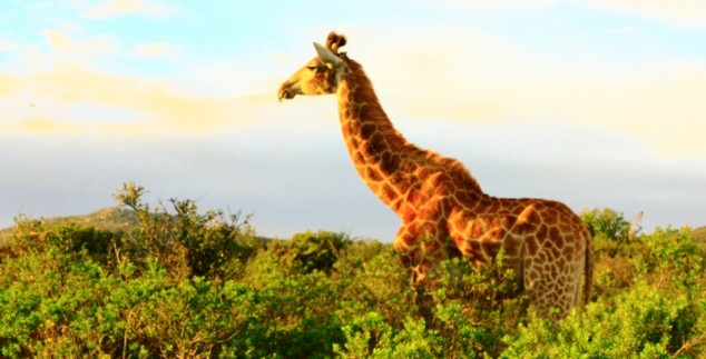 Giraffe auf Safari.