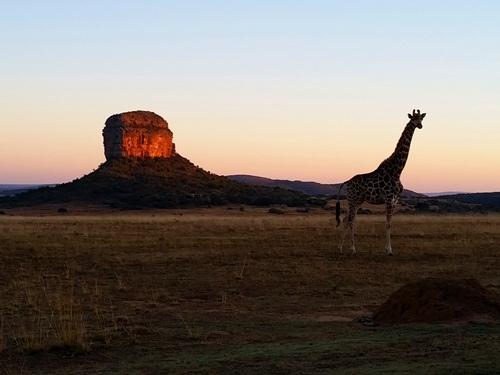 Giraffe bei Sonnenaufgang in Waterberg