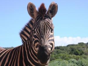 Pilanesberg National Park: Zebra