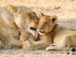 Löwenmutti mit Kind