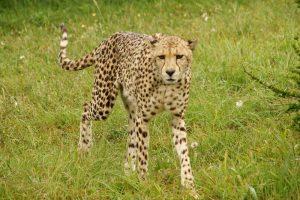 Raubkatzen Safari am Ostkap