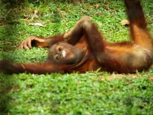Orang Utan Aufzuchtstation Bukit Merah - Malaysia 2 Wochen