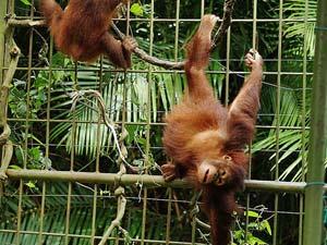 Orang-Utans in einer Aufzuchtstation