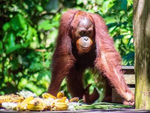 Borneo Familienreise Sepilok Orang Utan