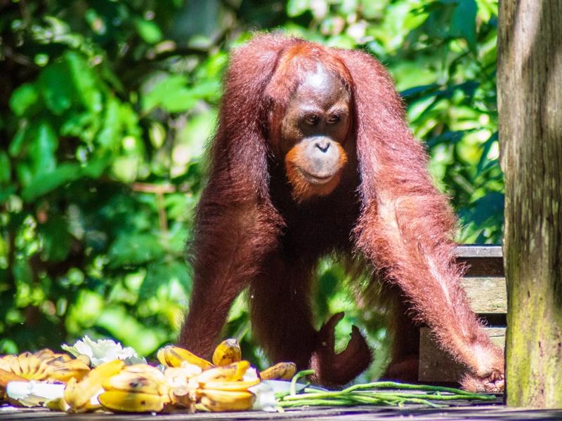 Borneo Rundreise - Sepilok Orang Utan