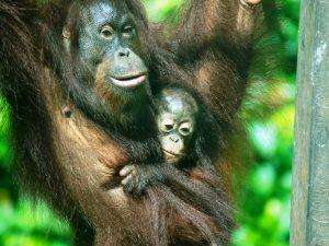 Rundreise Borneo Sepilok
