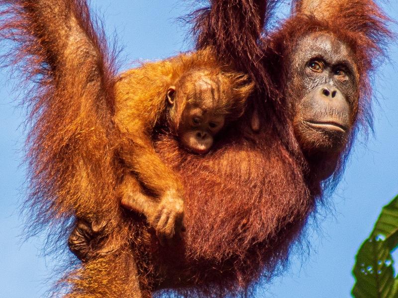Kleine Borneo Rundreise - Semenggoh Orang Utans