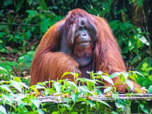 Borneo Familienreise Orang Utans in Semenggoh