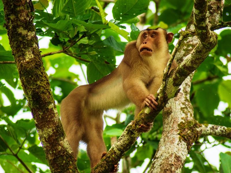 Borneo Rundreise - Tabin Wildlife Reserve Affe