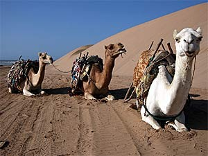 Liegende Kamele in der Wüste
