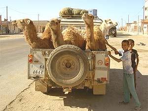 Kamele stehen auf der Ladefläche eines Pickups