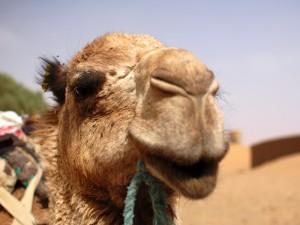 Merzouga: Kamele in der Wüste