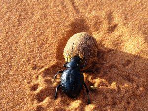 Käfer Wüste Merzouga Marokko Familienreise