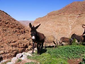 Marokko Königsstädte Esel Todra Schlucht