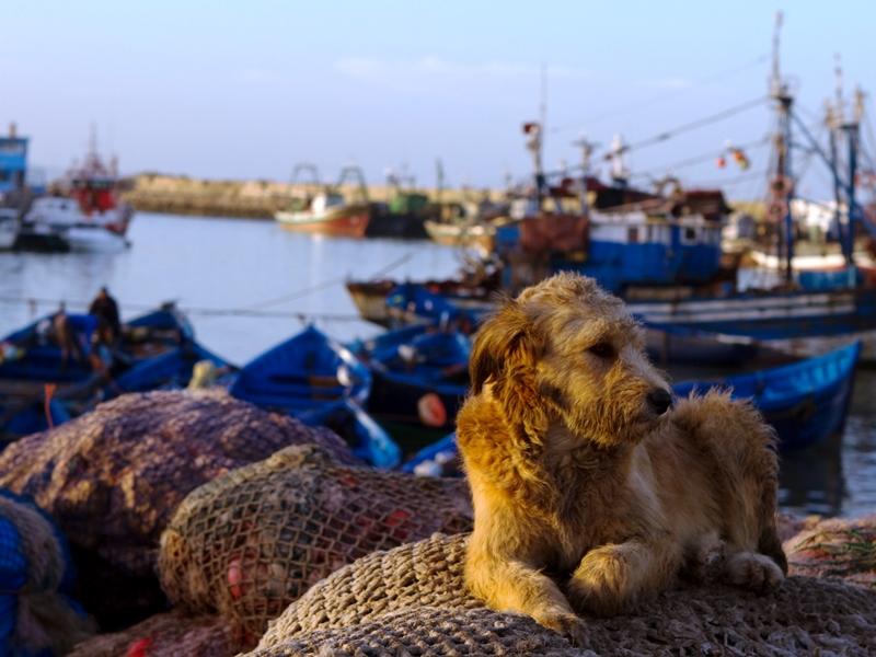 Hund und Fischerboote in Essaouira