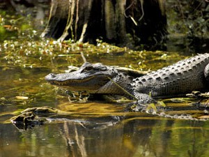 Alligator schwimmt in den Everglades
