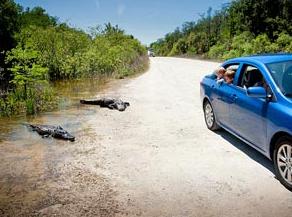 Mietwagen und Alligatoren auf der Straße in den Everglades