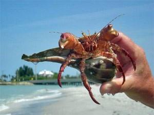 Krebs am Strand auf Sanibel Island