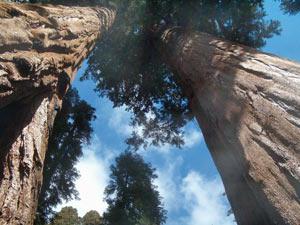 Zwei Mammutbäume im Sequoia Nationalpark