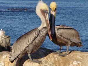 Pelikane an der Küste von San Diego