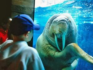 Walroß in Sea World in Las Vegas