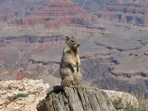 Erdhörnchen am Grand Canyon