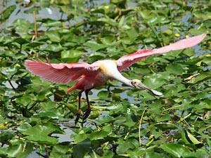 Vogel fliegt durch die Sümpfe der Everglades