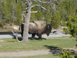 Bisons im Yellowstone Nationalpark