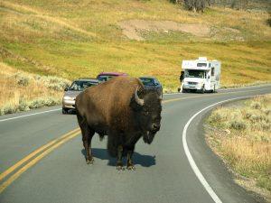 Nordwesten USA: Bison auf der Straße