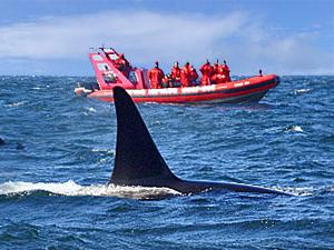 Menschen sichten einen Orca