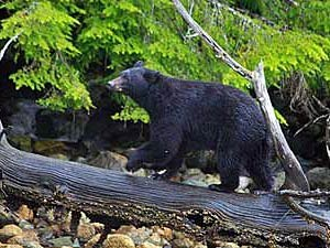 Ein Bär spaziert über einen Baumstamm