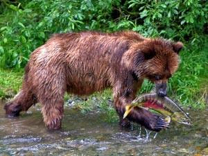 Ein Bär fängt einen Fisch im seichten Wasser