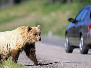 Ein Bär läuft auf die Straße - Kanada Rundreise ab Vancouver