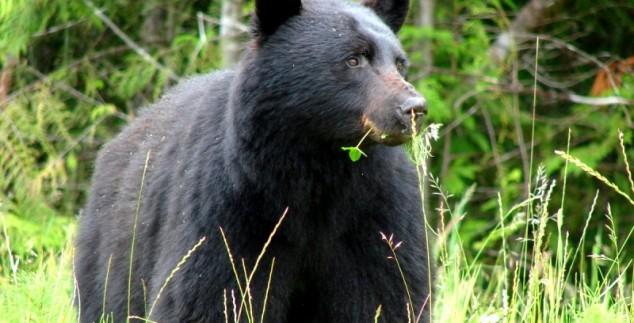 Ein Bär frisst auf einer Wiese