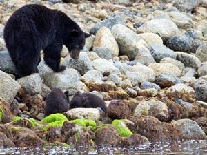 Ein Bär mit zwei Jungen am Fluss