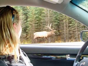 Einen Hirsch aus dem Auto raus beobachten