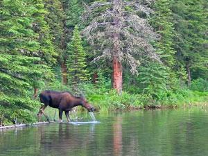 Ein Elch trinkt am Flussufer