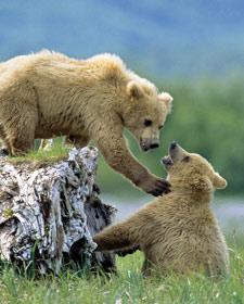 Bärengeschwister spielen zusammen
