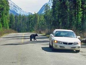 Ein Bär überquert die Straße hinter einem Auto