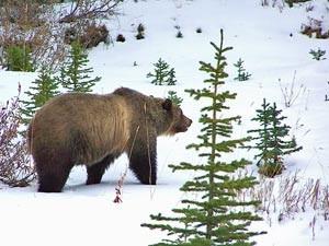 Ein Bär läuft durch die Schneelandschaft