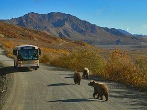 Bären laufen auf der Straße einem Bus entgegen