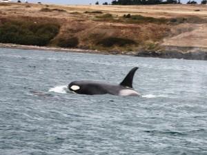 Orcas bei Victoria